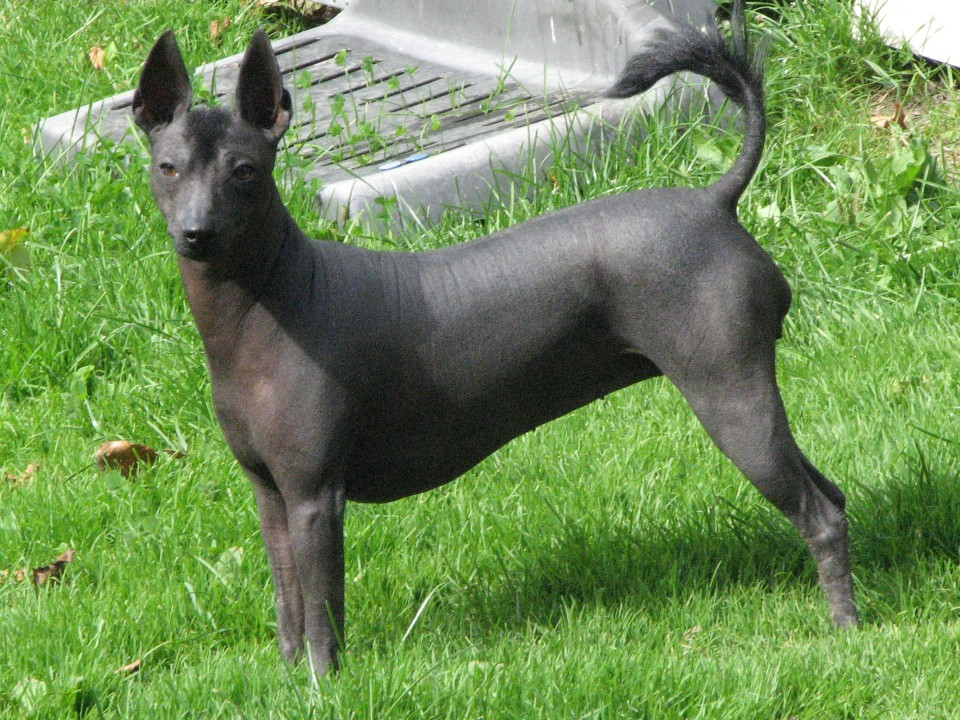 Xoloescuincle Dog Pictures To Pin On Pinterest Pinsdaddy